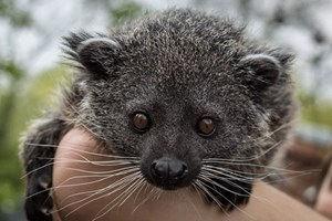 Stockists of 2 for 1 Binturong Experience for Two at Hoo Farm Animal Kingdom