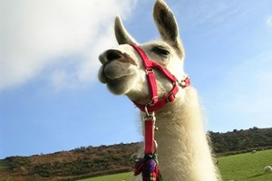 Bargain Llama Trekking with Cream Tea for One Stockists